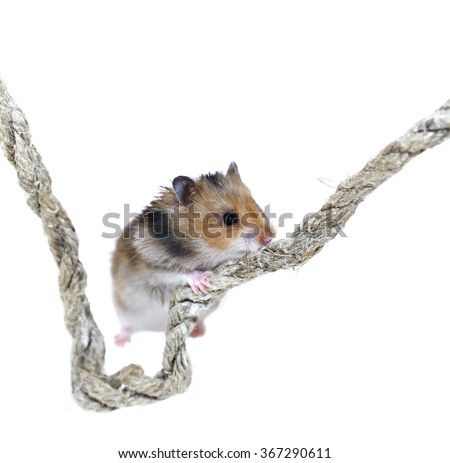 Brown Syrian hamster climbing on a rope isolated on a white background - stock photo