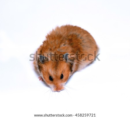 Brown Syrian hamster isolated on white background - stock photo