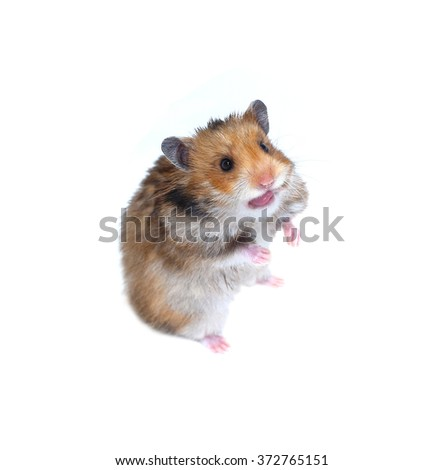 Brown Syrian hamster stands on his hind paws and showing tongue teases isolated on a white background