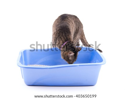 Brown tabby cat checking out her litter box, smelling it, on white - stock photo