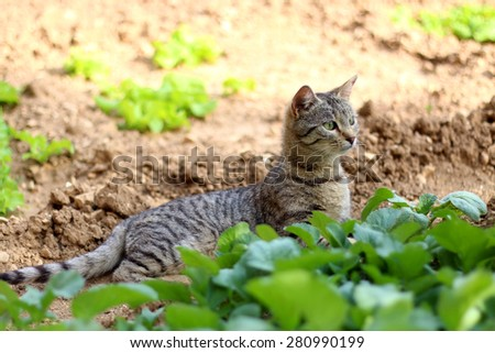 Brown tabby cat lying in the garden, among the vegetables, and curiously looking at something. Selective focus.  - stock photo