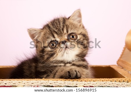 Brown tabby Exotic kitten sitting inside basket on pink background - stock photo