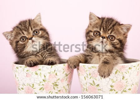 Brown tabby Exotic kitten sitting inside pots vases on lilac pink background - stock photo