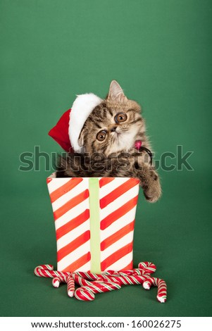 Brown tabby Exotic kitten with Santa cap hat sitting inside Christmas vase container with candy canes on green background - stock photo