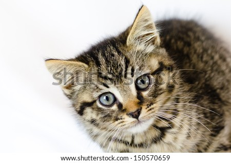 brown tabby kitten with blue eyes looking at camera and a white background
