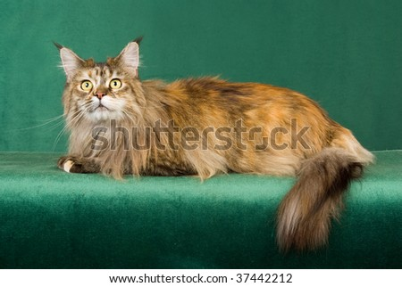 Brown tabby lynx Maine Coon on green background fabric - stock photo
