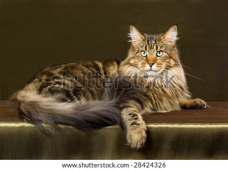 Brown tabby Maine Coon adult cat on green bronze fabric background - stock photo