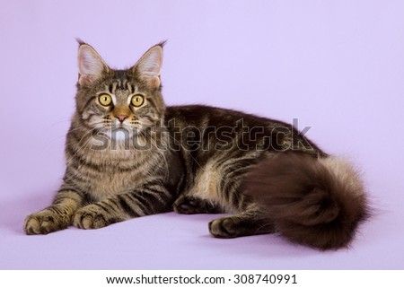 Brown tabby Maine Coon cat lying down on lilac background