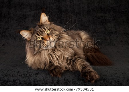 Brown Tabby Maine Coon in studio on black background - stock photo