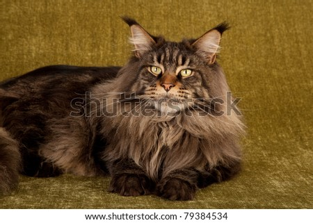Brown Tabby Maine Coon in studio on green background - stock photo