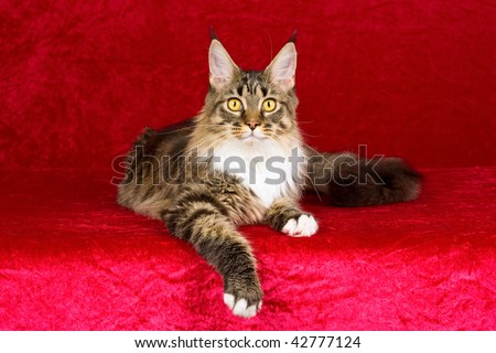 Brown tabby Maine Coon on cerise pink background fabric - stock photo
