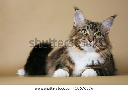 Brown tabby Maine Coon on light brown background - stock photo