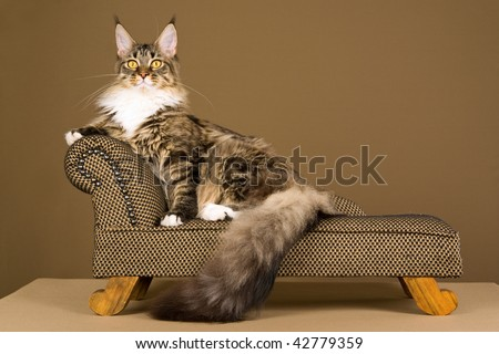 Brown tabby Maine Coon sitting on mini couch sofa on khaki background - stock photo