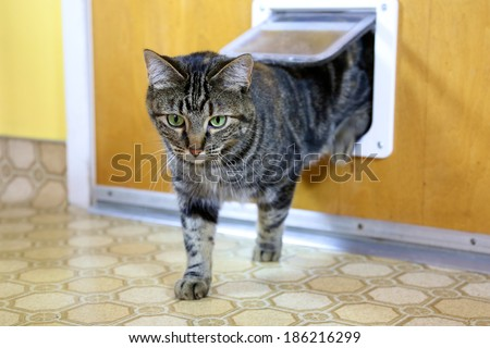 Brown tabby uses cat door to go in and out - stock photo