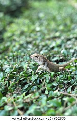 Brown thai lizard on tree - stock photo