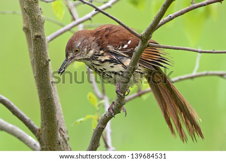 Brown Thrasher perched in a tree with a caterpillar in it's beak. - stock photo