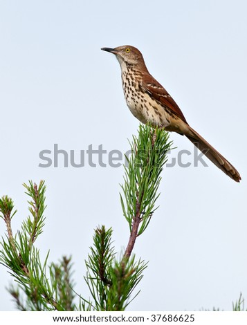 Brown Thrasher sitting in a Pine tree - stock photo