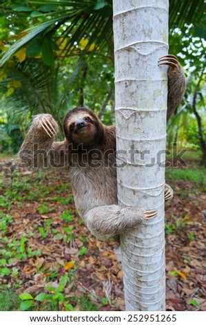 Brown-throated sloth climbing on a tree, Panama, Central America - stock photo