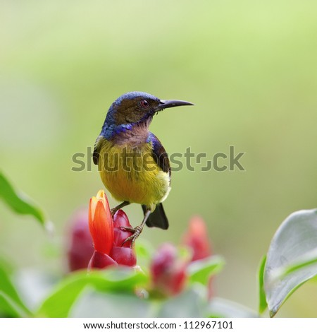 Brown-throated Sunbird (Anthreptes malacensis) looking for sweet. 01