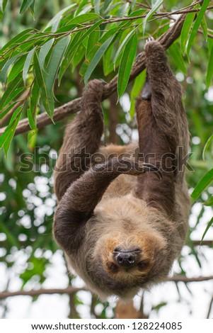 Brown-throated Three-toed Sloth, Bradypus - stock photo