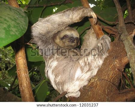 Brown-throated Three-toed Sloth (Bradypus variegatus) in Amazonas Rainforest  - stock photo