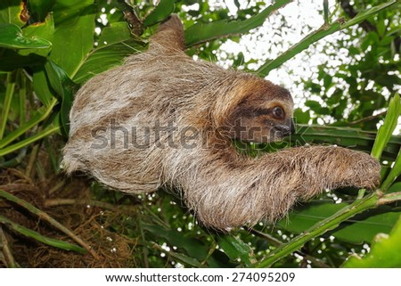 Brown-throated three-toed sloth in the jungle, wild animal, Costa Rica, Central America - stock photo