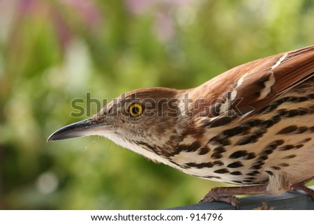 Brown Thrush ready to fly.