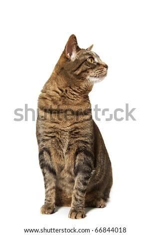 Brown Tiger Cat Sitting Tall - stock photo