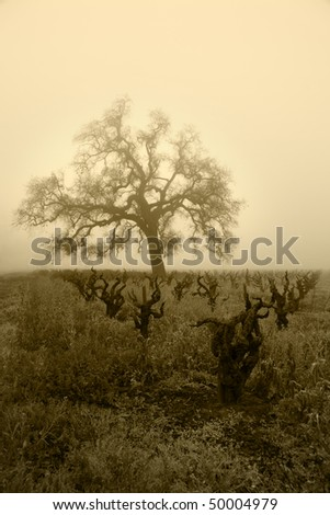 Brown tone of bare oak tree and leafless California grapevines in Winter fog.