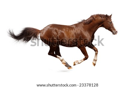 Brown trakehner stallion isolated on white