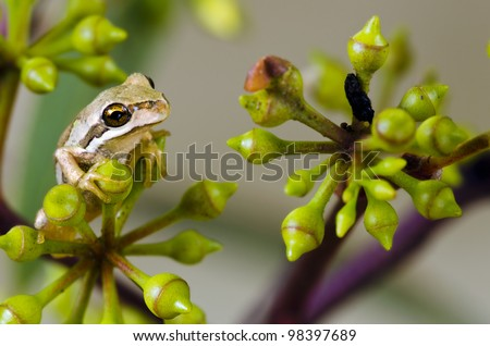 Brown Tree Frog, Litoria ewingi in eucalyptus tree. A common and widespread species in Tasmania, Australia, the frog is an agile climber, aided by climbing discs on its fingers and toes. - stock photo