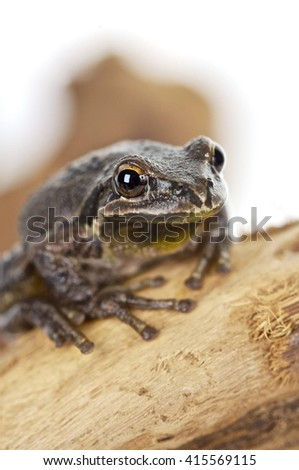 Brown tree frog sitting on a branch, white background, vertical, shallow depth of field