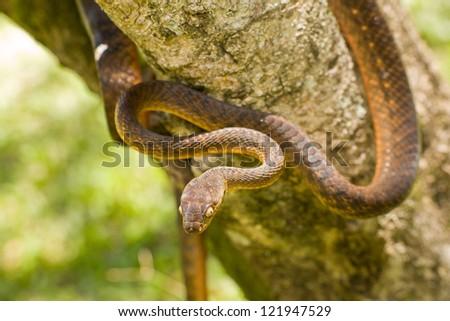 Brown Tree Snake - stock photo