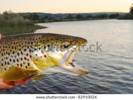Brown Trout - Fly fishing the Bighorn River of Montana