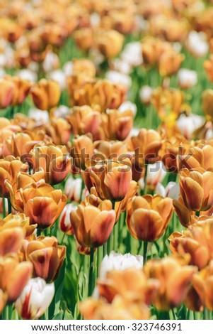 Brown Tulips (Shallow DOF) - stock photo