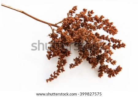 brown twig of dried bush with small open bolls seeds, flowers, isolated elements on white  background for scrapbook, object, roughage autumn leaf - stock photo