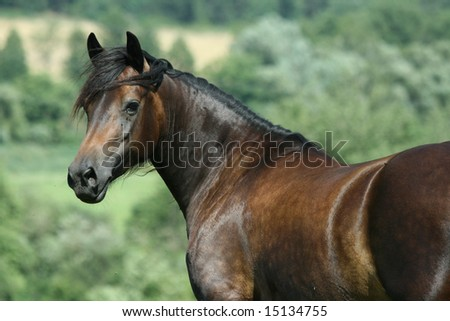 Brown welsh cob mare