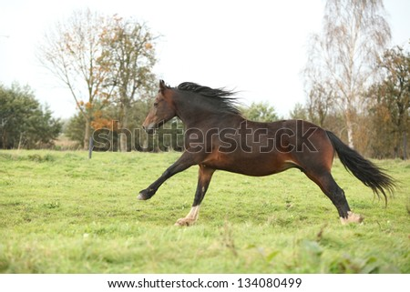Brown welsh pony mare running on green pasturage