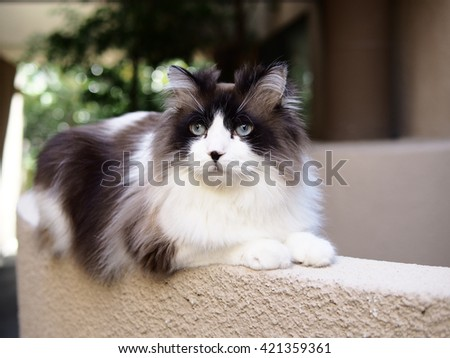Brown White Bi-Color Long Haired Blue Eyed Ragdoll Cat with a black button nose and Long Whiskers Sitting on Ledge Staring Intensely - stock photo