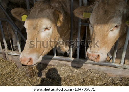 brown white cow in a stable in the netherlands - stock photo