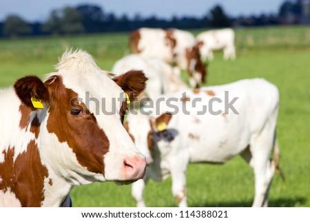 Brown white cows on a farmland - stock photo