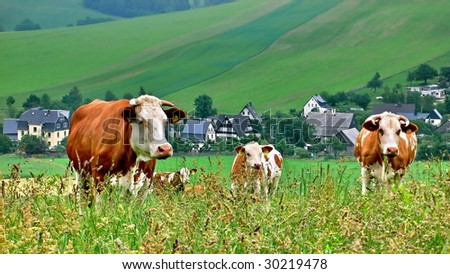 brown/white cows on a green field behind village