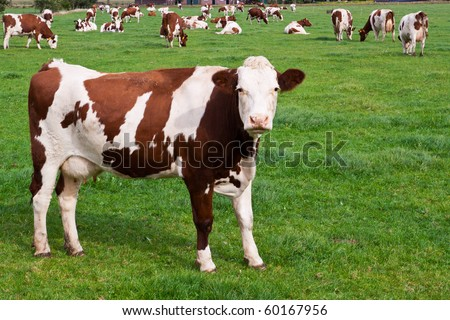 Brown & white cows on a green meadow field - stock photo