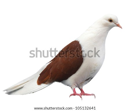 Brown white dove sits isolated on a white background - stock photo