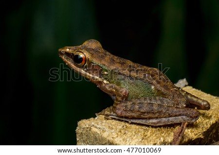 Brown White-lipped Frog (Chalcorana labialis) looking the left space, stay firm on the rock during the night with dark background
