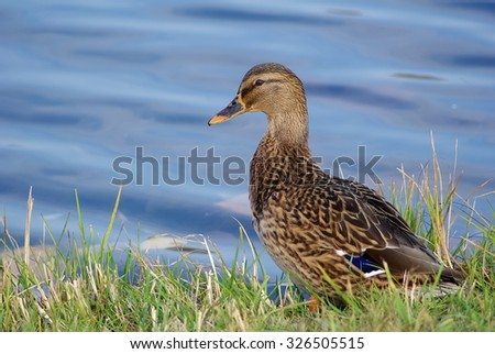 Brown wild mallard duck standing in the grass on the background of the water surface, and looking at the camera.