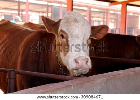 Brown with white on head Simmentaler cow in stable. - stock photo