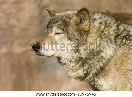 Brown Wolf blinking at sun - stock photo