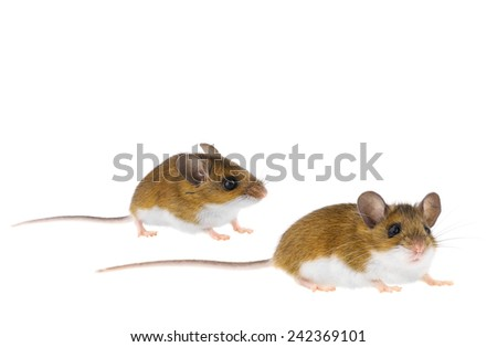 Brown Woodlands Deer Mice crawling - peromyscus Mouse - stock photo