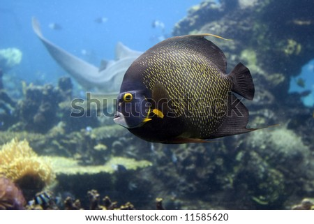 Brown Yellow Spotted Angelfish swimming over reef.